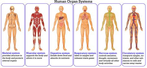 Respiratory System and Other Systems, How They Work