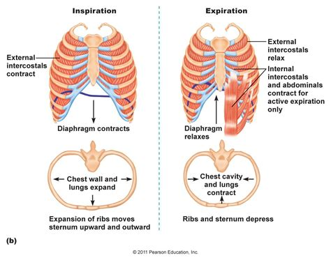 In detail, what processes do the respiratory system and