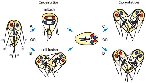 Nuclear inheritance and genetic exchange without meiosis